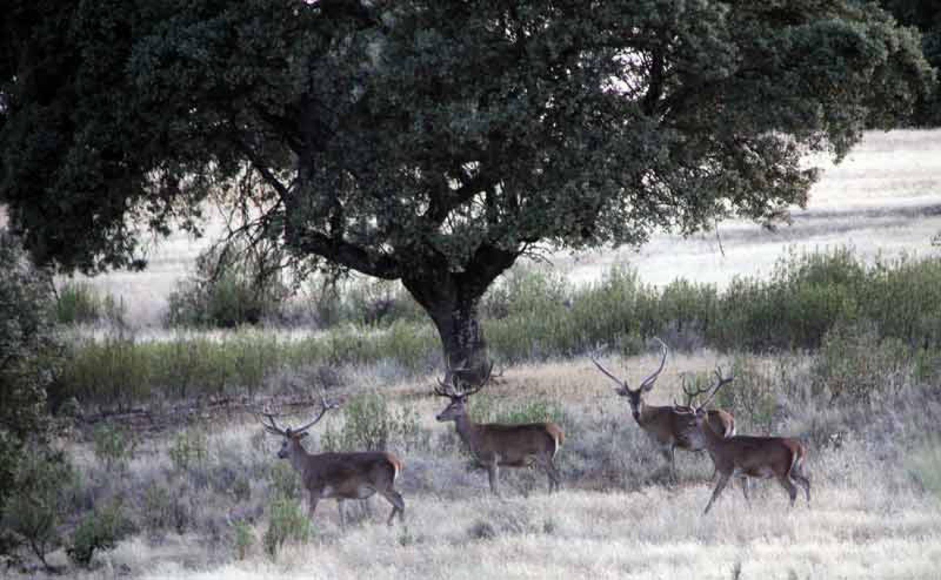 Muchos y grandes ciervos, un modelo de gestión probado con éxito