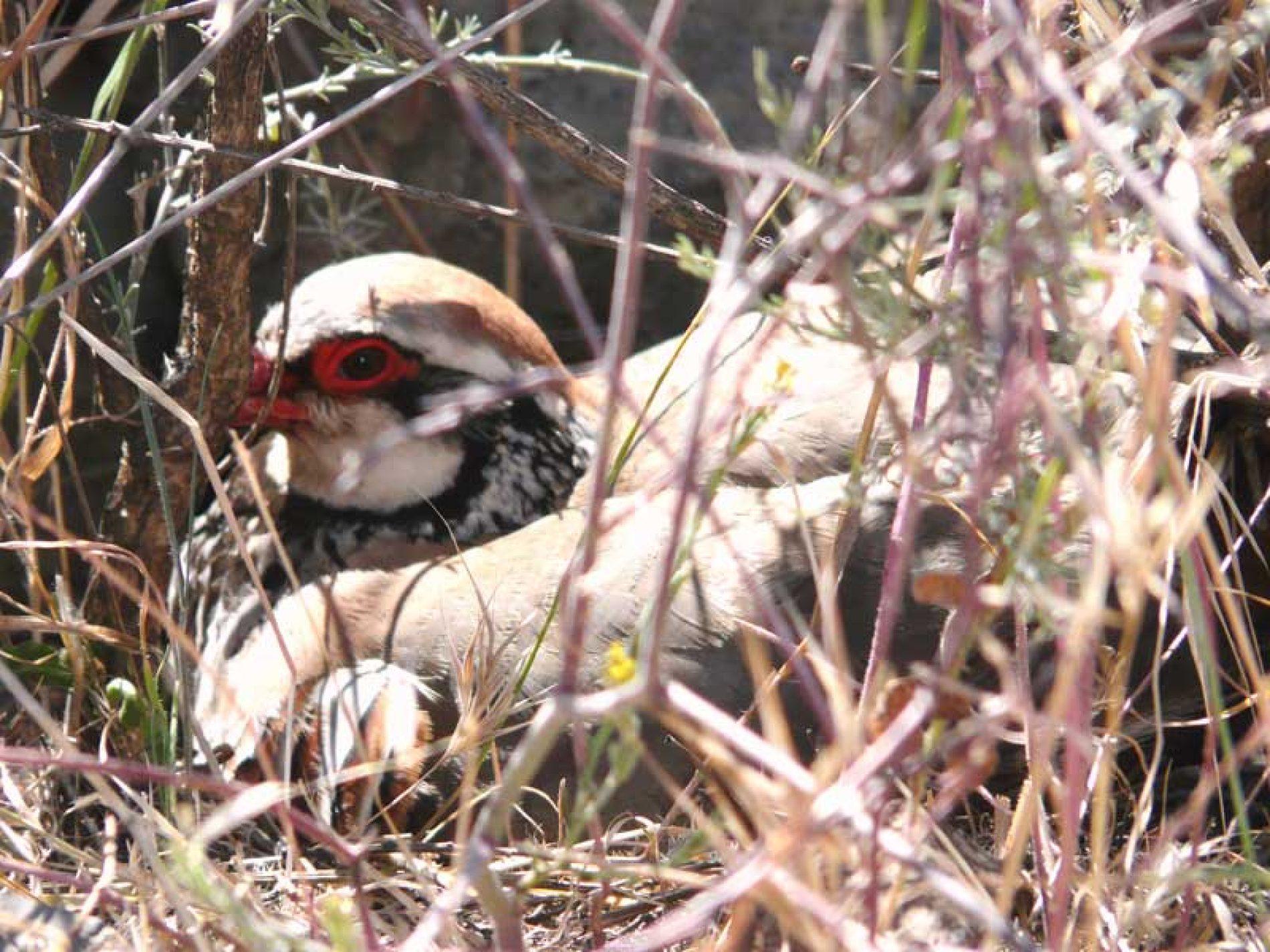 Los cazadores navarros responsables de la conservación de la perdiz