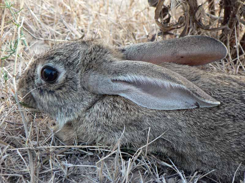 Plagas-de-conejos-conejo