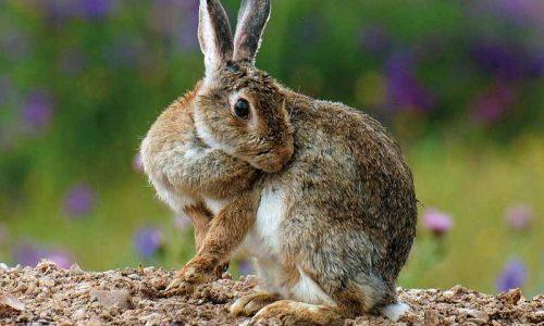 ¿Cómo gestionar las plagas de conejos ?