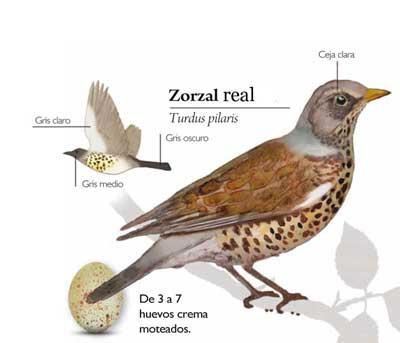 Zorzal-charloilus