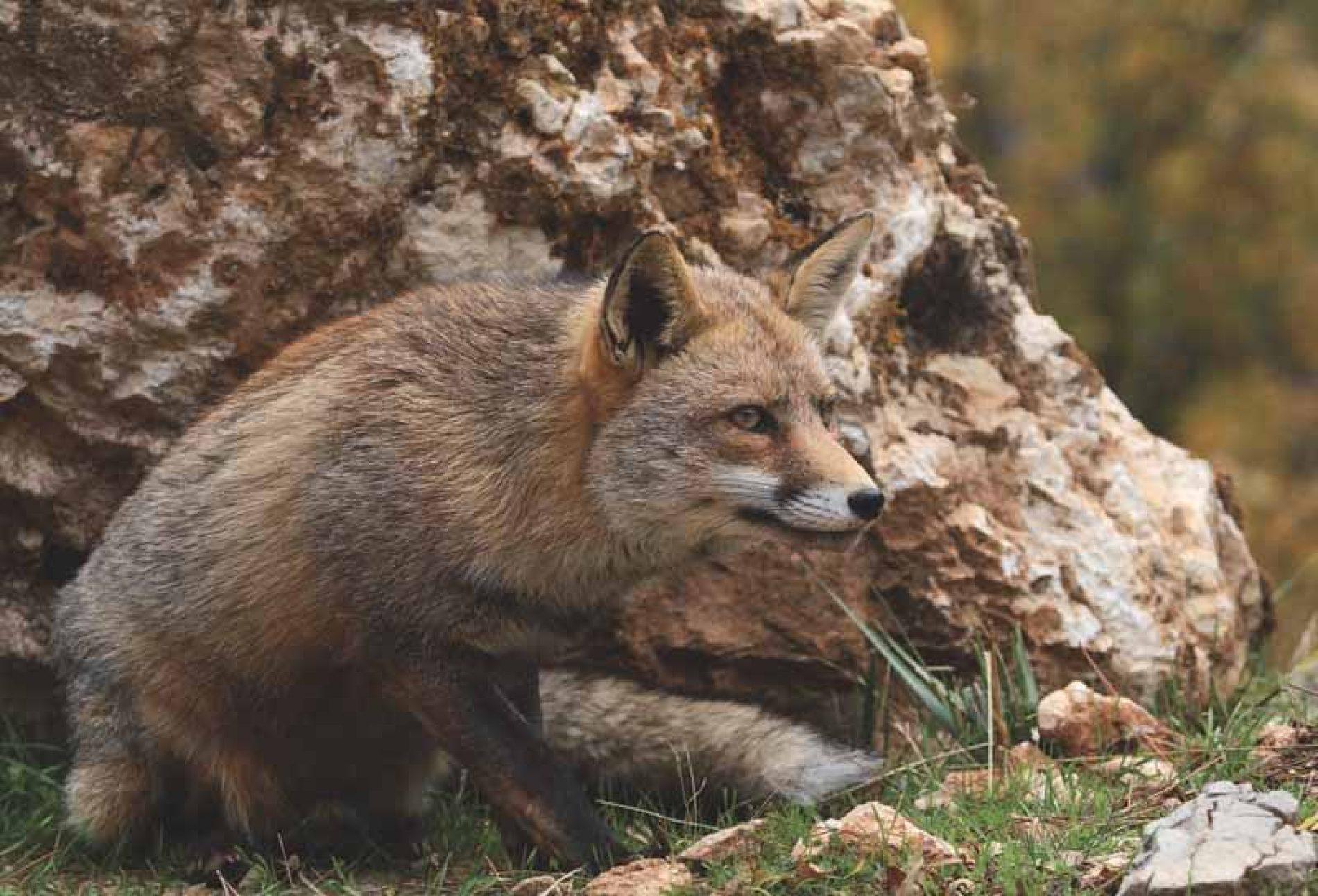 Es necesario cazar zorros como gestión o por interés cinegético