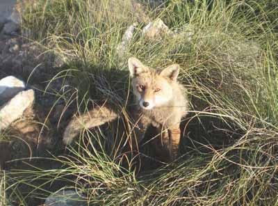 cazar-zorros-prin