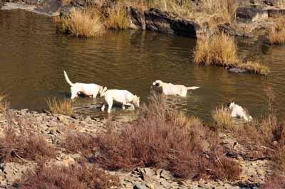 homenaje-perros-de-caza-perros-agua