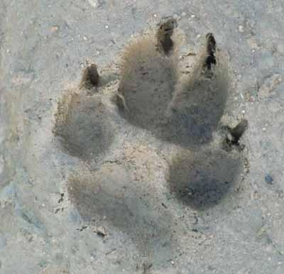 lobo-pasiones-y-odio-huella-lobo