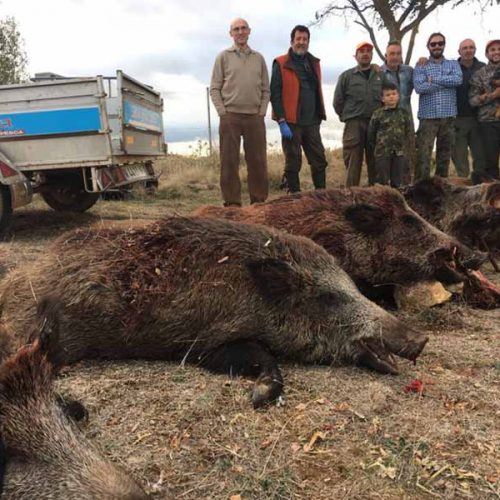 15 jabalíes, 5 con boca en la montería de Tordelrábano
