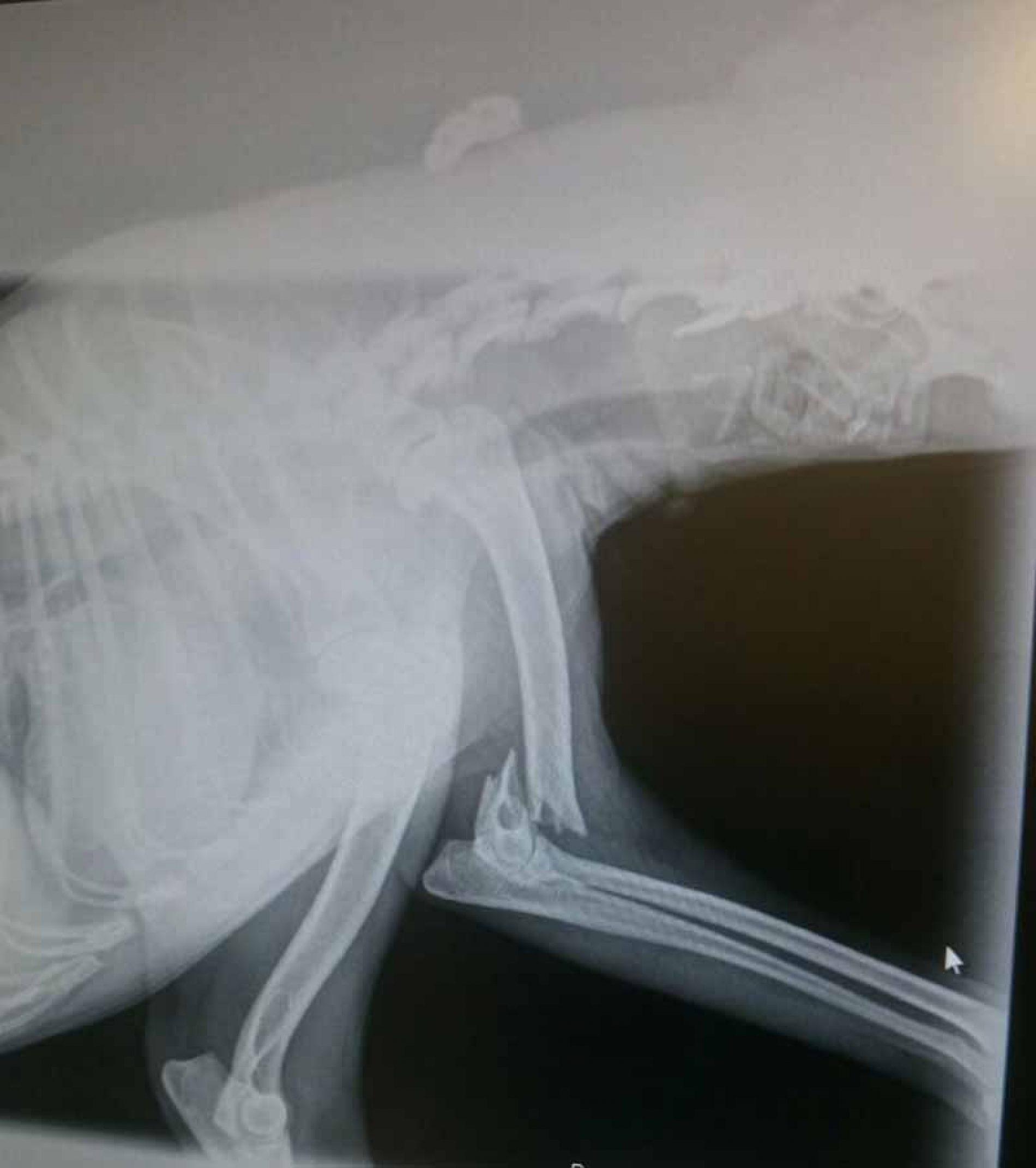 Perros de caza y el tratamiento de los traumatismos