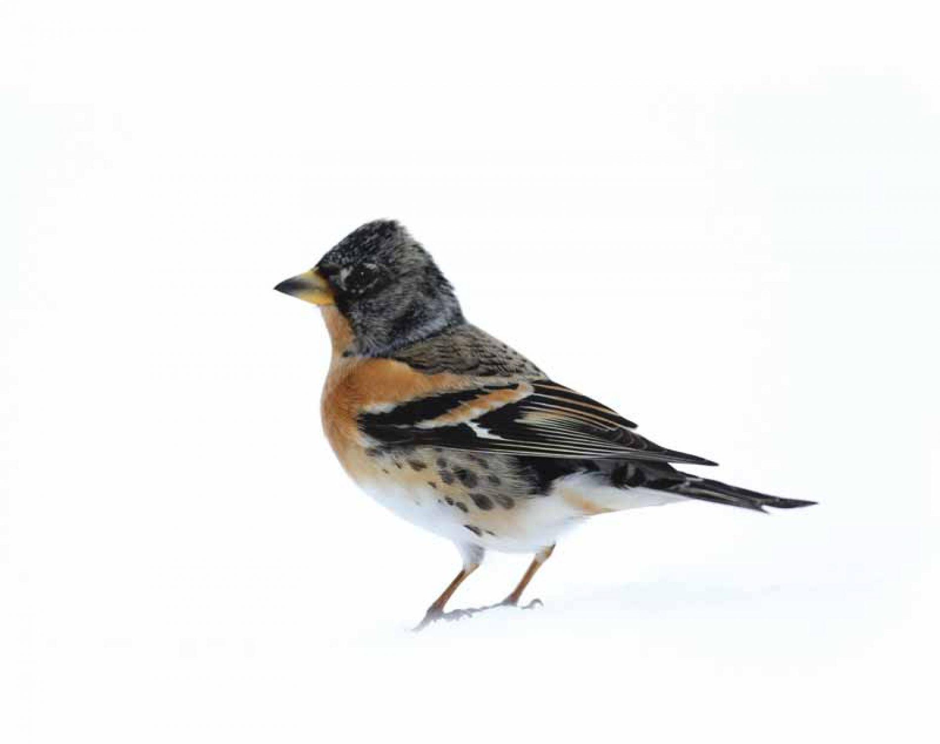 Silvestrismo, cazando aves con red y reclamo