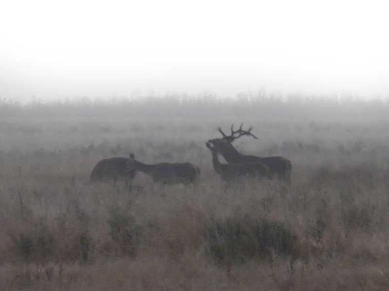 el-ciervo-caza-y-costumbres-berrea