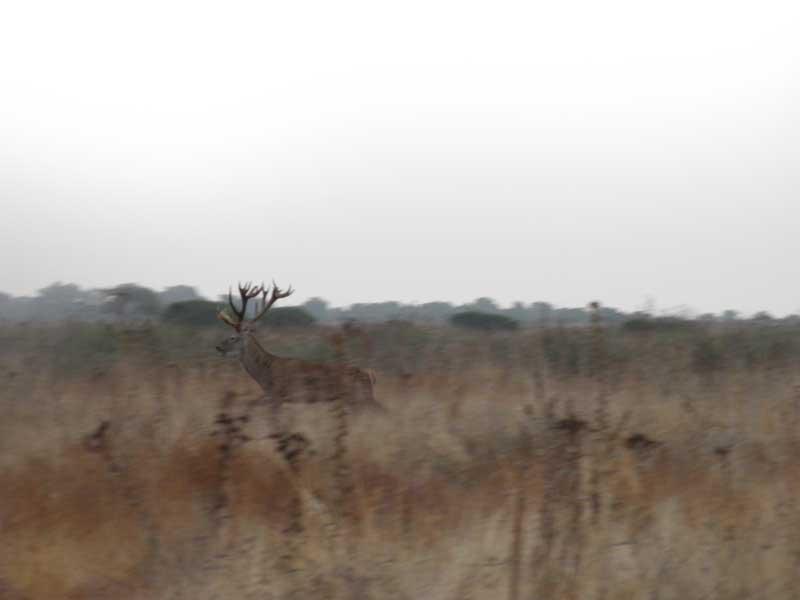 el-ciervo-caza-y-costumbres-cruzando