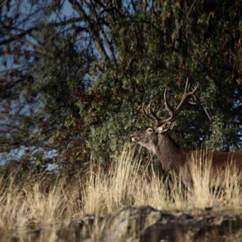 El ciervo, su caza, sus costumbres y su trofeo