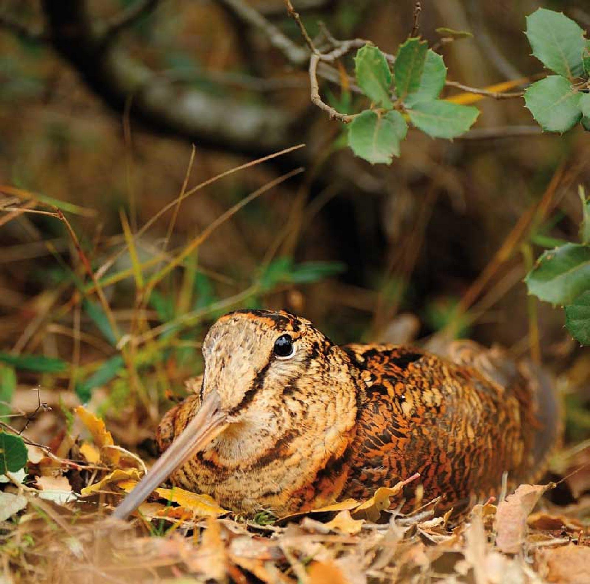 Las 8 especies de la becada, su caza, biología, distribución e historia