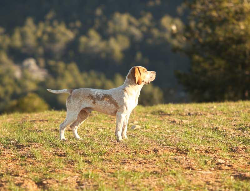 la-afonia-perros-de-caza-2