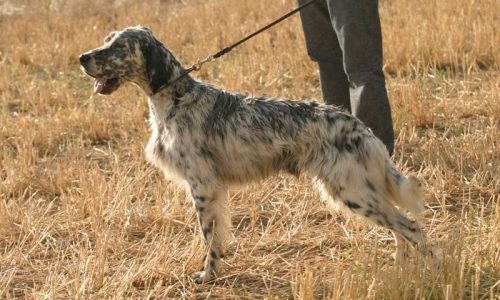 ¿Qué puede provocar afonía en un perro de caza?