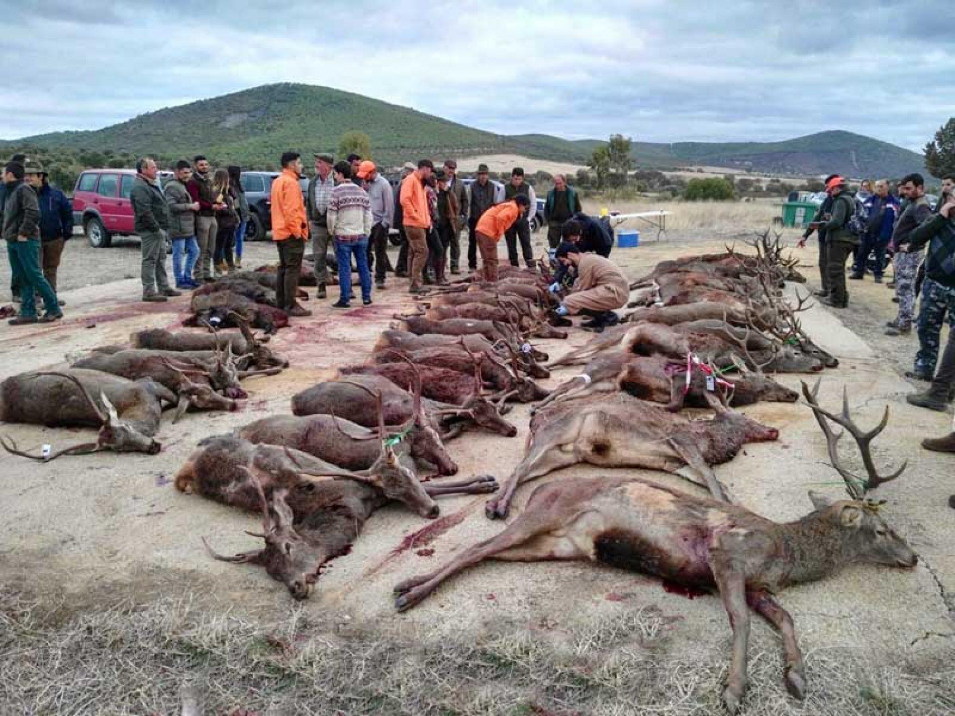 La Sociedad de Cazadores de Belmez monteó Cerro del Moro con buen resultado