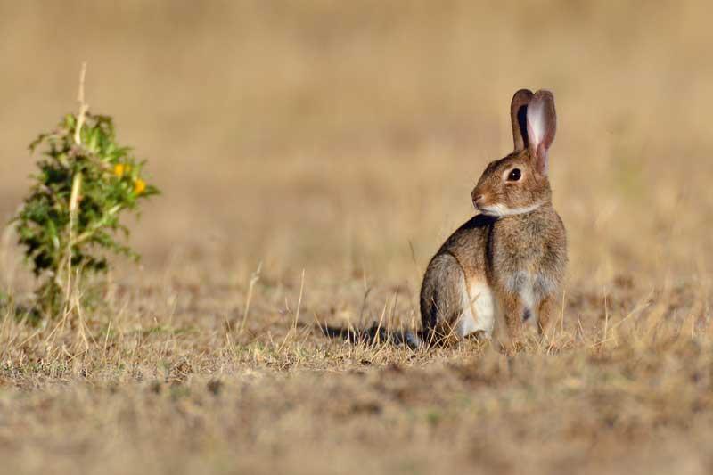 recuperar-conejos-sin-repoblar-2