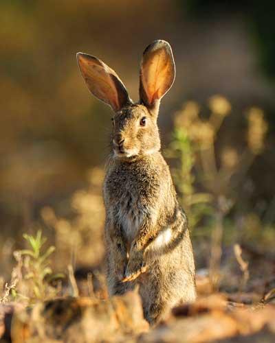 recuperar-conejos-sin-repoblar-desp