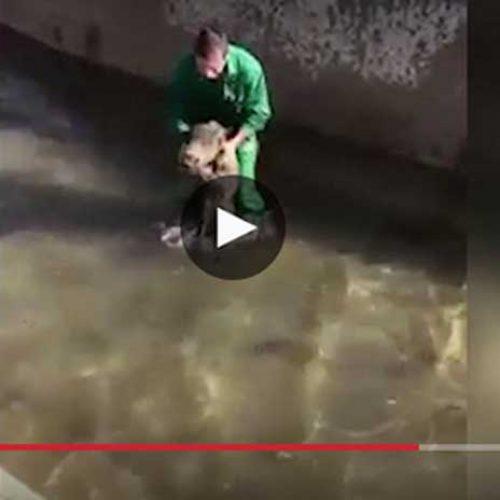 La RFEC condena el ahogamiento intencionado de un jabalí en una acequia