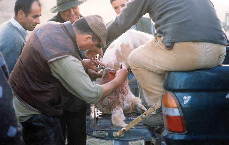 botiquin-perros-de-caza-cosiendo
