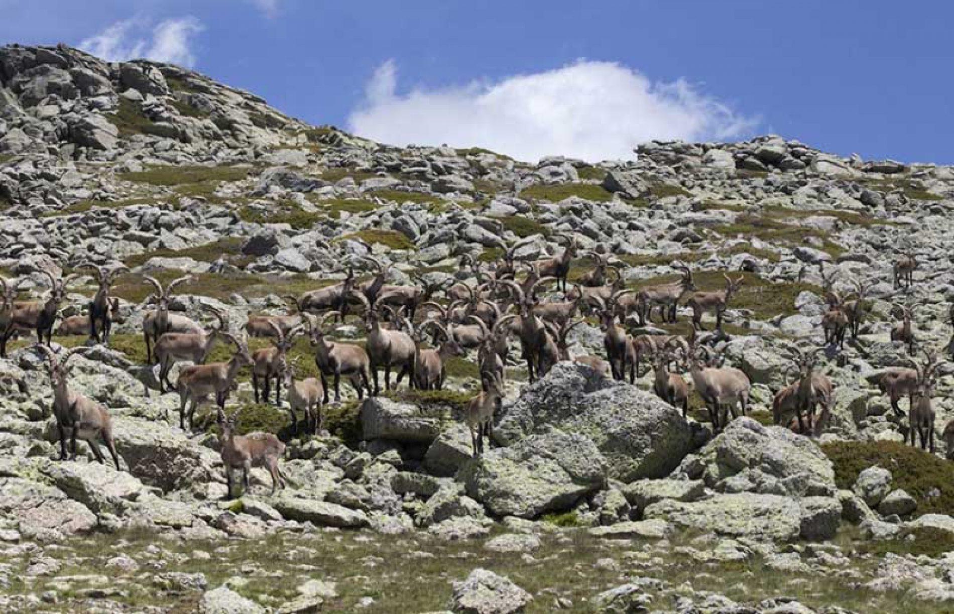 Artemisan presenta un informe que avala la necesidad de controlar la cabra montés en Guadarrama