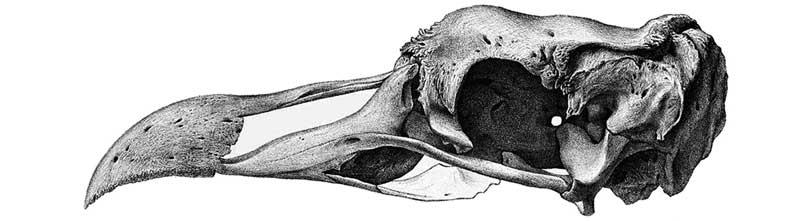 extinciones-craneo-solitario-rodrigues