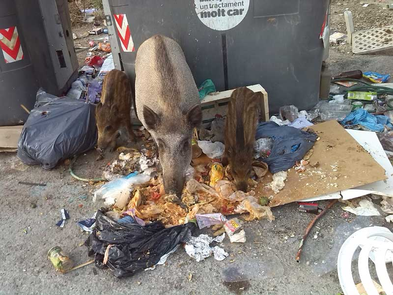 jabalis-comiendo-basura