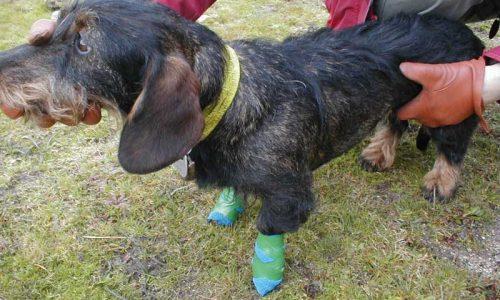 Las 4 lesiones más frecuentes en las almohadillas de los perros de caza