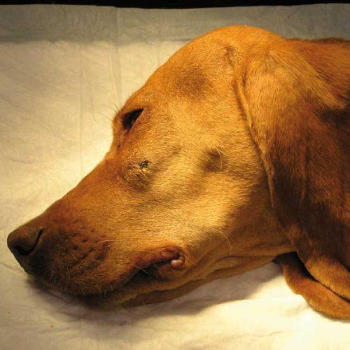 Los principales problemas de boca de los perros de caza y sus soluciones
