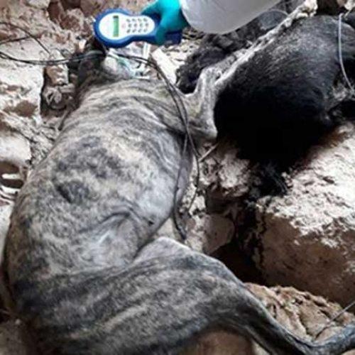 Artemisan y la RFEC se personarán como acusación particular en el caso de la fosa de perros