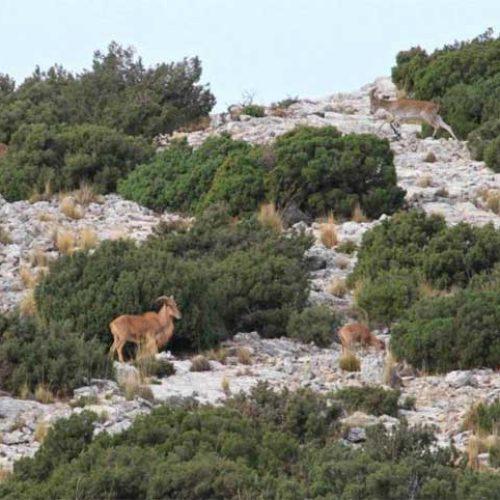 Equo y otros grupos ecologistas a favor del exterminio del arruí