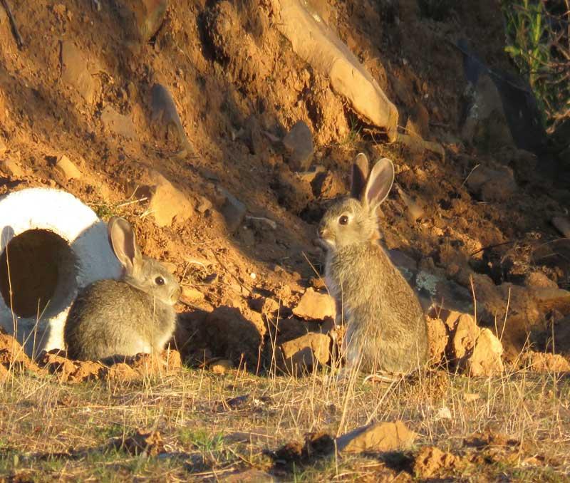 conejos-cercados-conejosjovenes