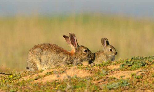 5 Características que determinan el éxito de los cercados de conejos