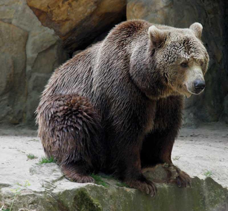 el-oso-pardo-entero