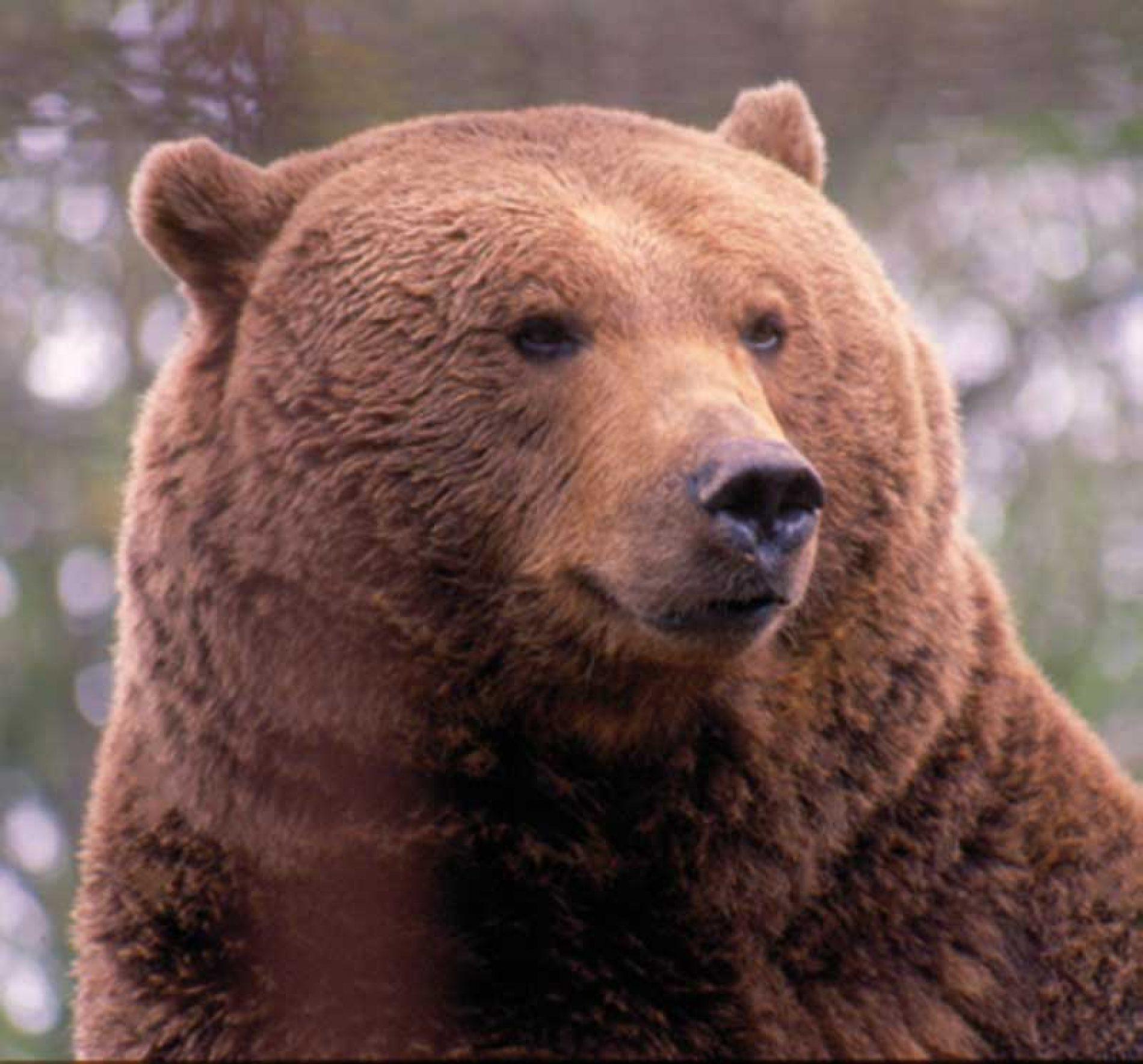 Evolución y distribución del oso pardo en Extremadura