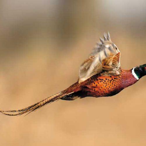 Los cazadores extremeños se ofrecen para controlar y erradicar Especies Exóticas Invasoras