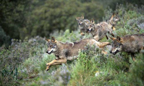 Estrategia Nacional de Conservación del Lobo ibérico