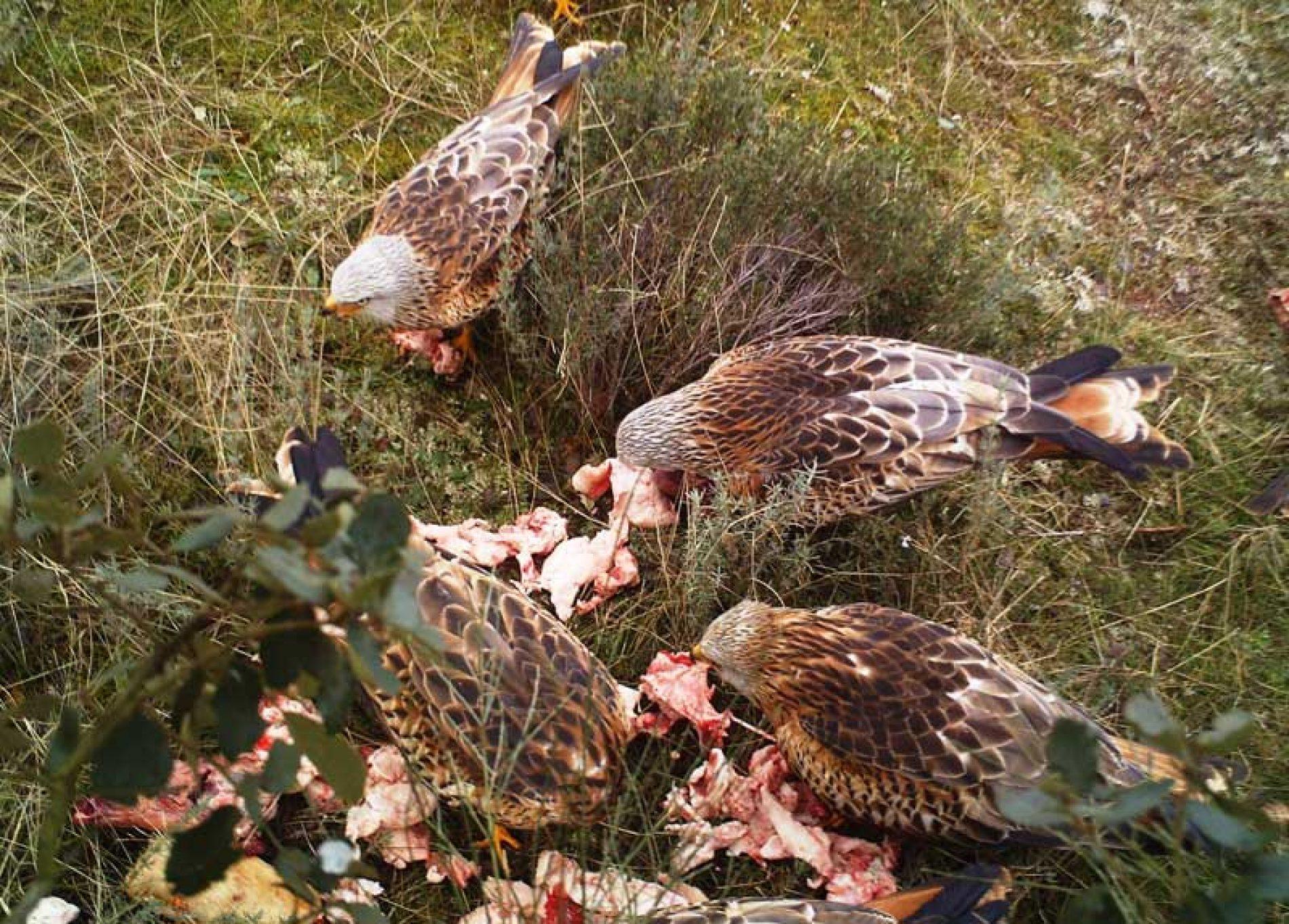 El destino de las piezas de caza mayor en las cacerías colectivas