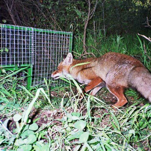 Curso de formación en control de predadores el 21 de mayo en Cáceres
