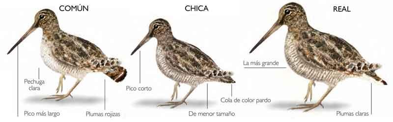 Agachadizas-especies