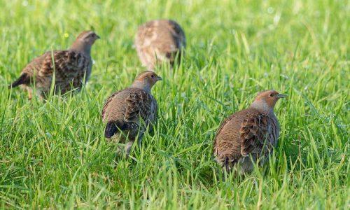 Situación legal de la caza de la perdiz pardilla en España