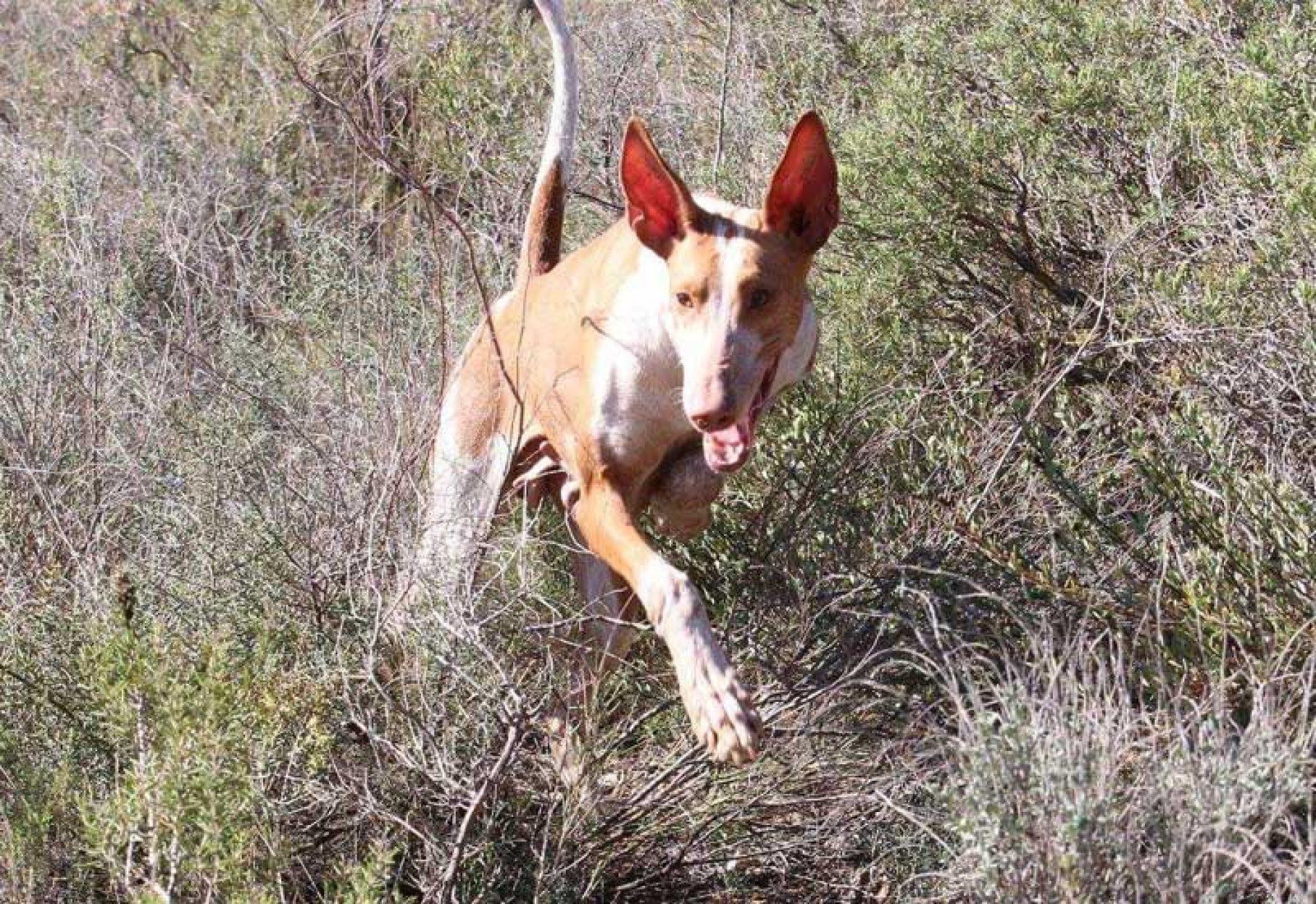 EL perro de caza será protagonista en FIVAC 2018