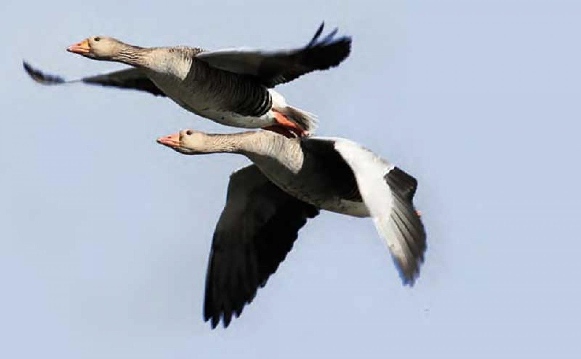 Aspectos legales  de la caza de patos