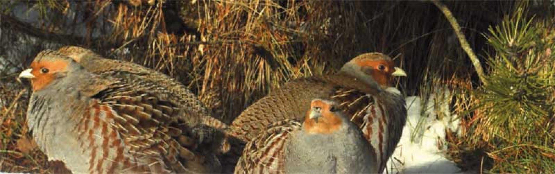 El fin de la caza de la perdiz pardilla en España