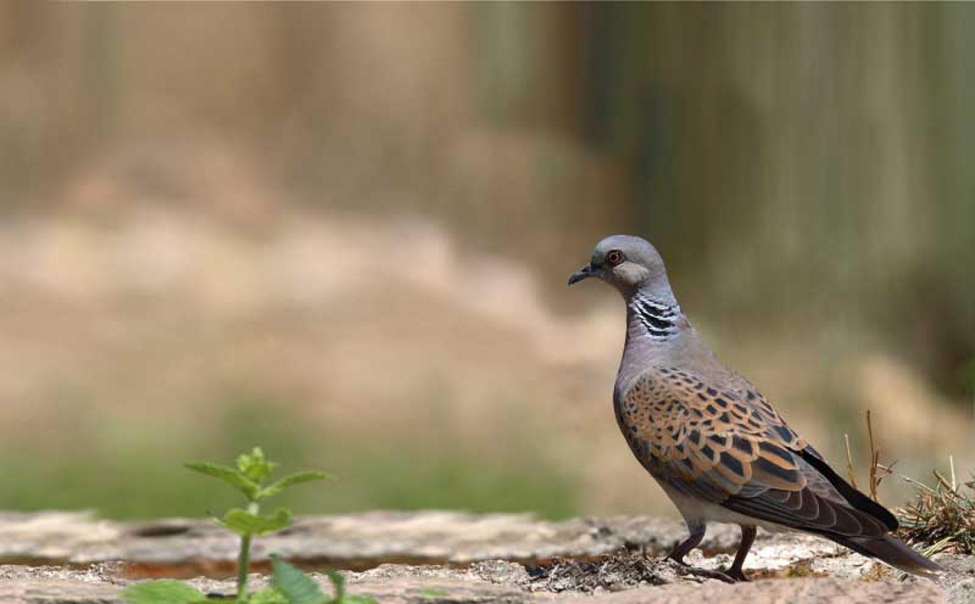 La RFEC lamenta que el MITECO condene a la tórtola europea a la extinción