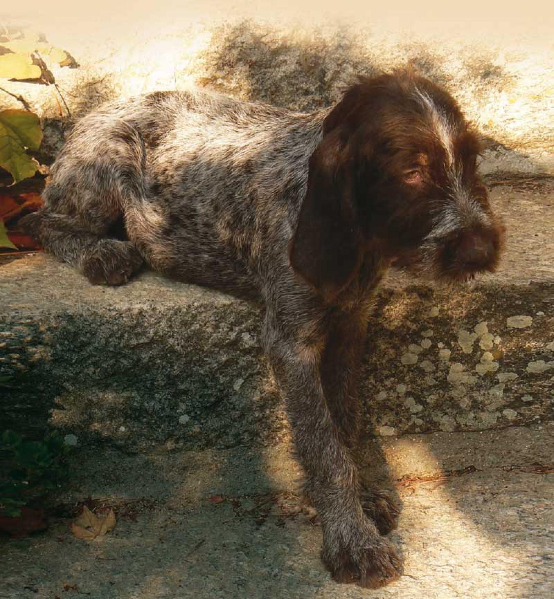 ¿Cómo enseñar a mi perro de caza 4 órdenes básicas de obediencia?