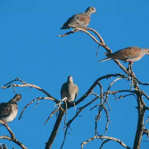 Desmentido sobre la aprobación de una moratoria para la caza de la tórtola en España