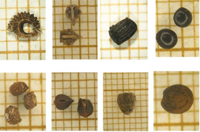 tortola-semillas