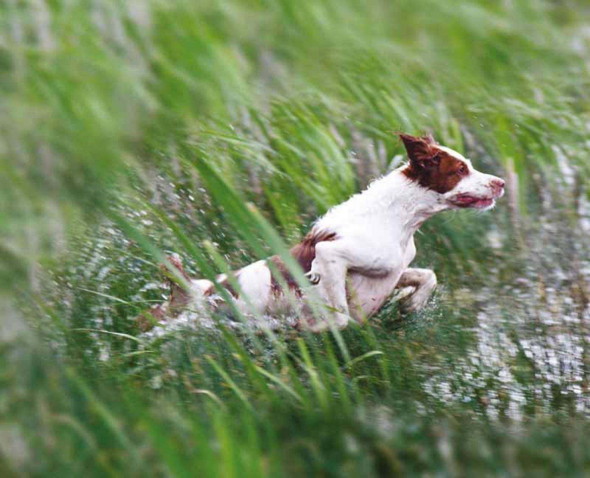 El Epagneul bretón, el perro de muestra más popular de Francia