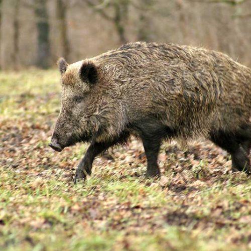 Europa modifica las medidas de control zoosanitarias relativas a la PPA
