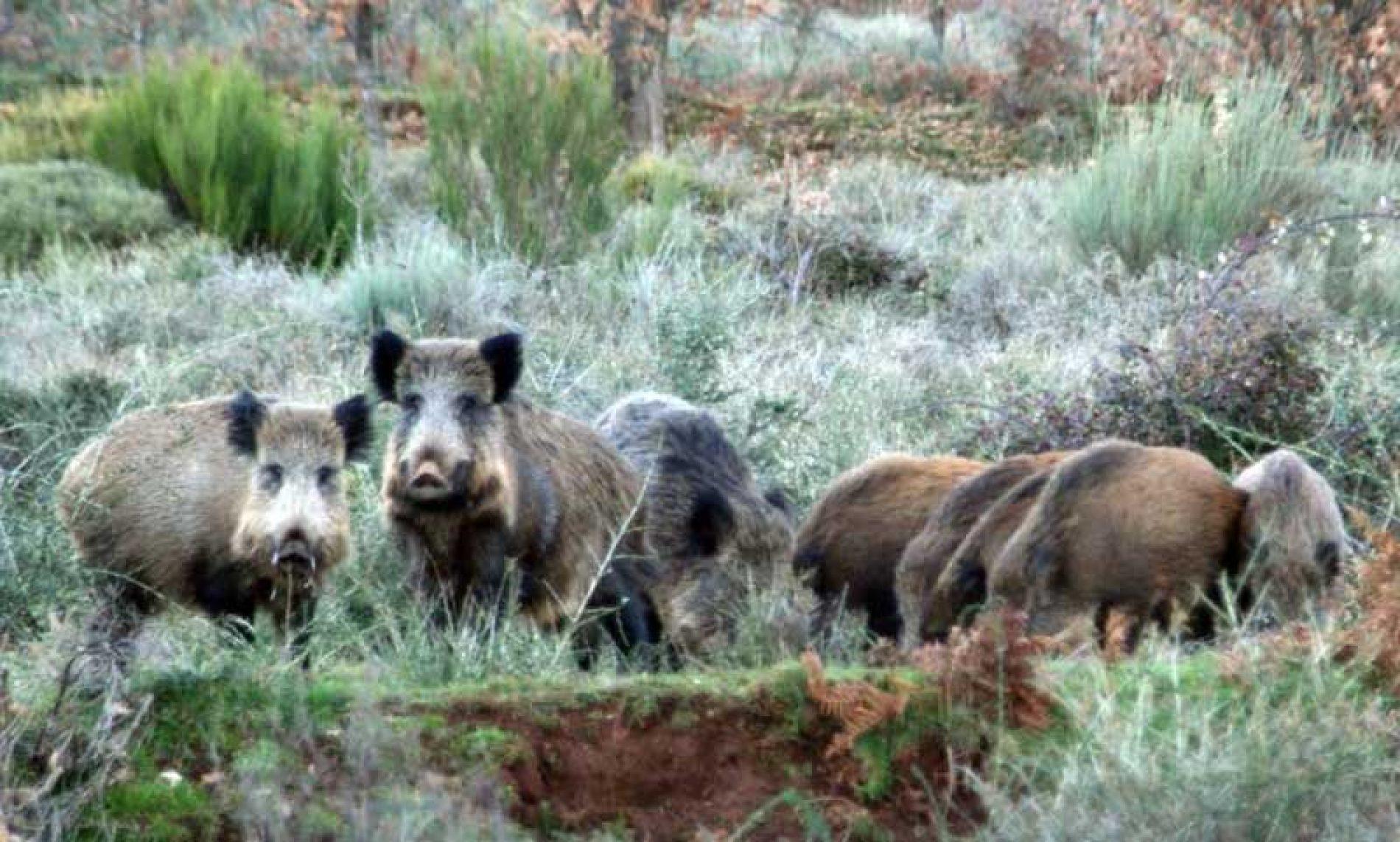 20 preguntas y respuestas sobre la Peste Porcina Africana